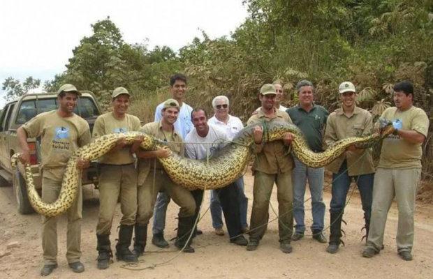 анаконда - самая крупная змея в мире