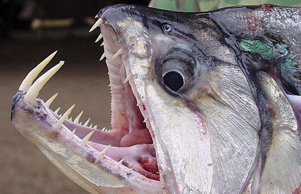 Скумбриевидный гидролик рыбами-вампирами