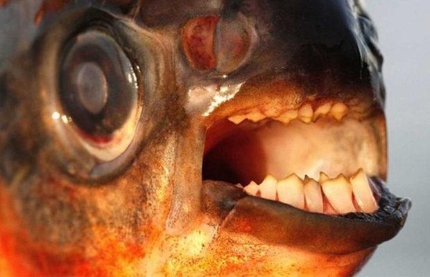 Рыба с человеческими зубами, бурый паку
