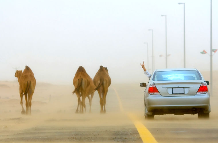 ОАЭ: преимущество верблюда на дороге