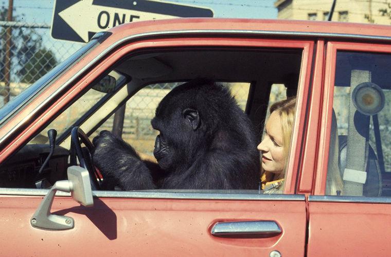 США: бикини и горилла