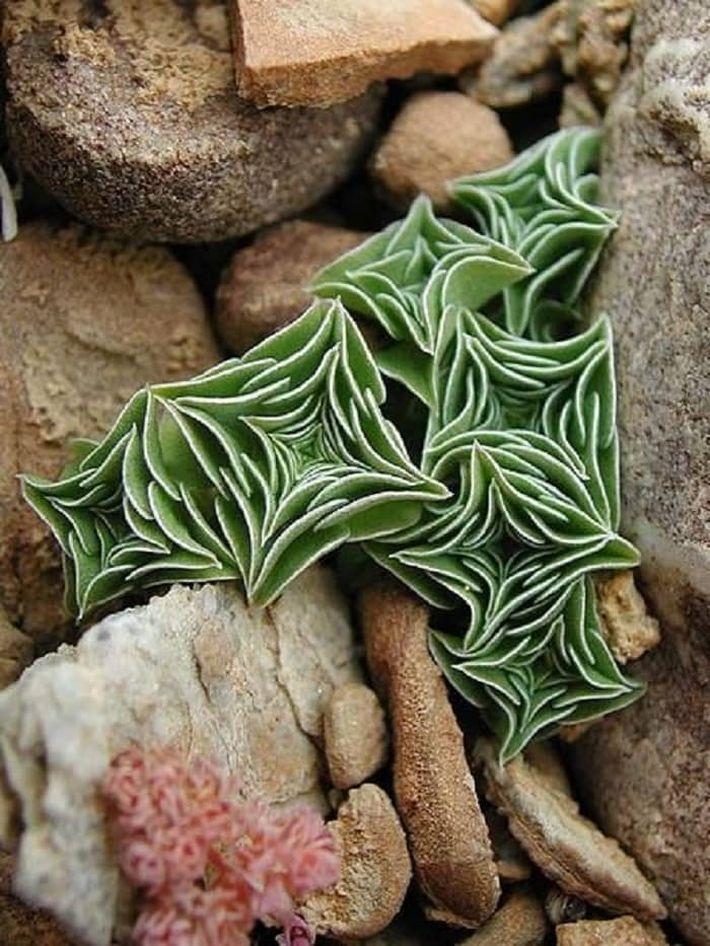 12. Горечавка урнула (Gentiana urnula)