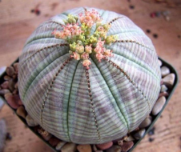 5. Молочай тучный (Euphorbia obesa)
