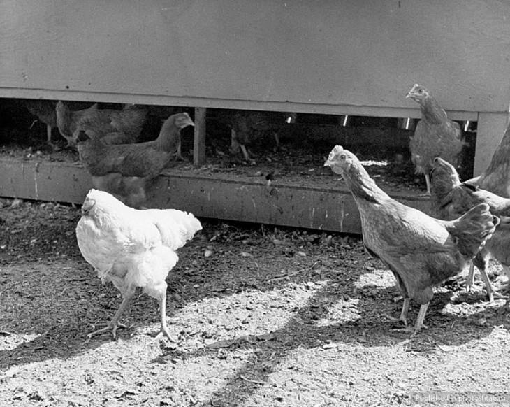 Курица может жить без головы — правда