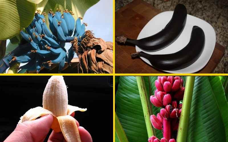 Самые редкие и необычные виды бананов