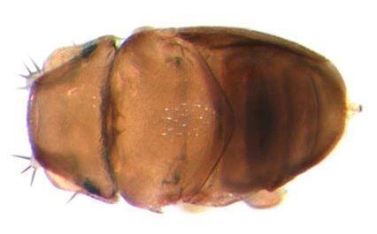 Euryplatea nanaknihali - самый мелкий среди всех представителей мух
