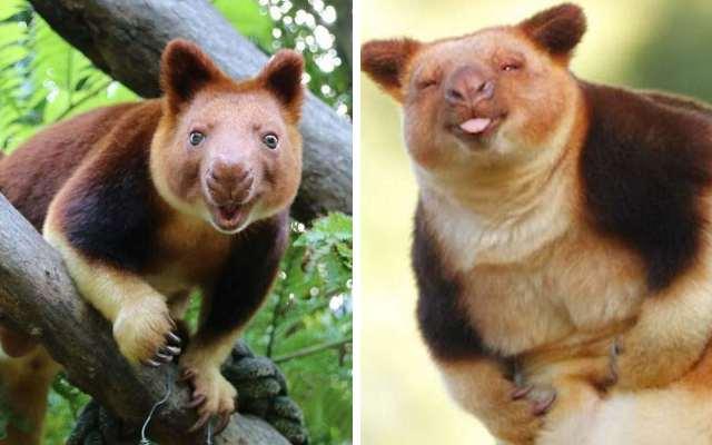 Древесные кенгуру, на которых невозможно смотреть без улыбки