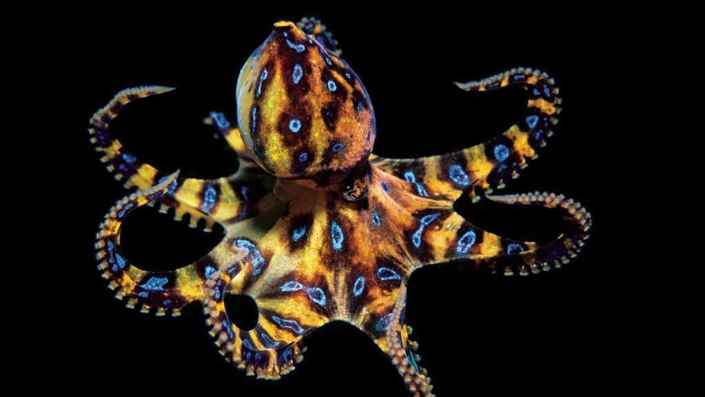 Сине-кольчатый осьминог