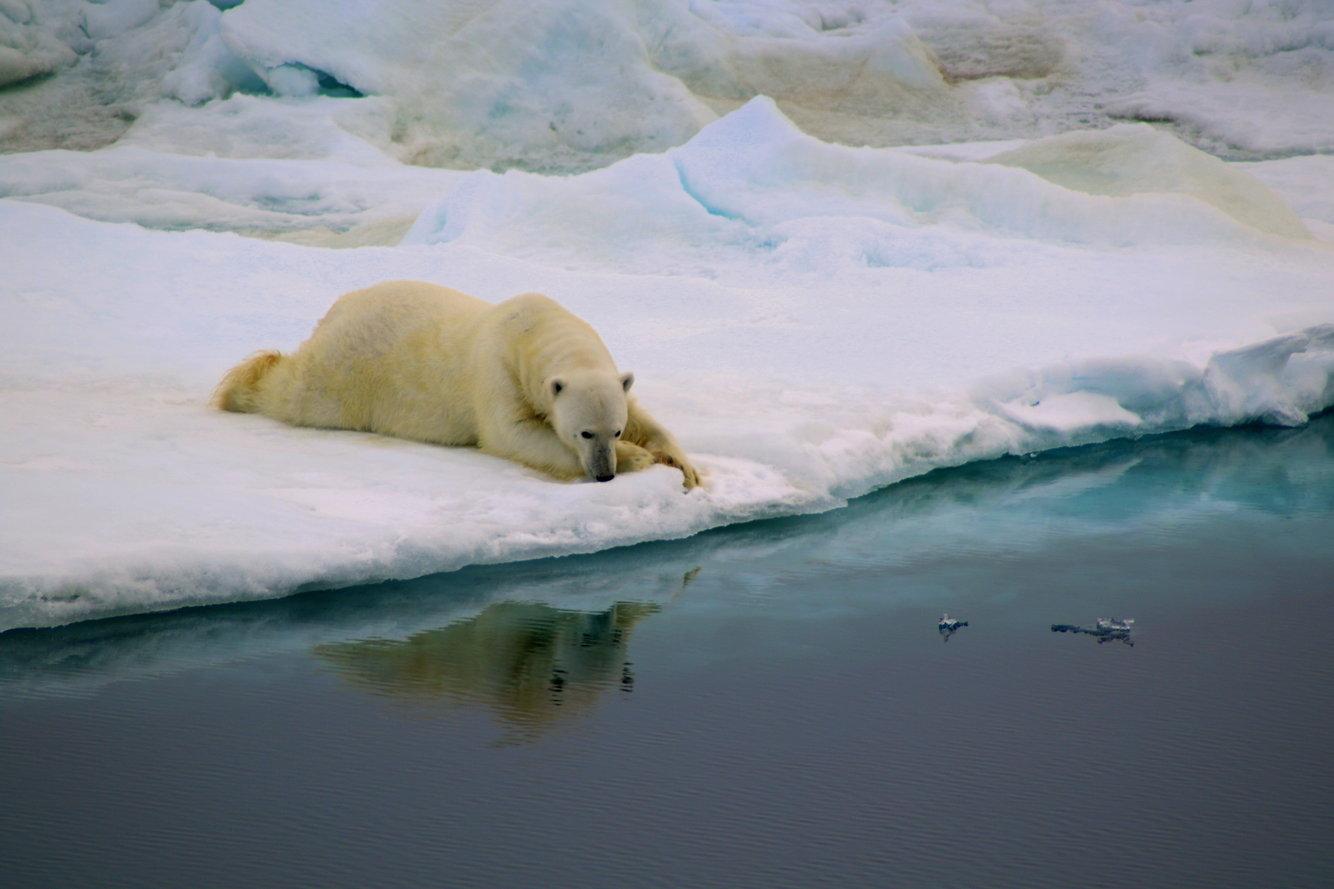 Белый медведь заглядывает в воду
