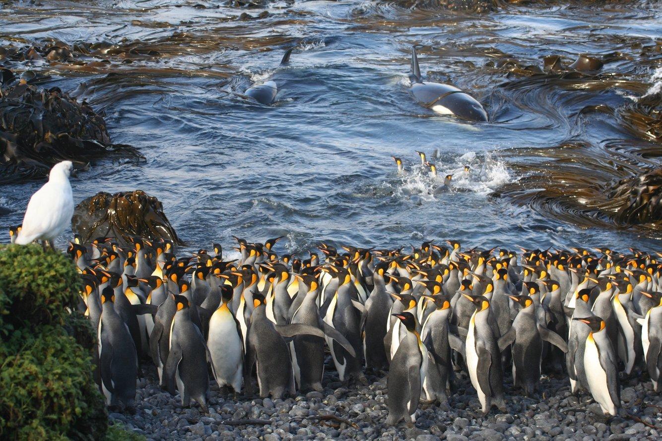 толпа королевских пингвинов