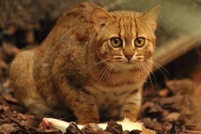 Ржавая кошка, или пятнисто-рыжая