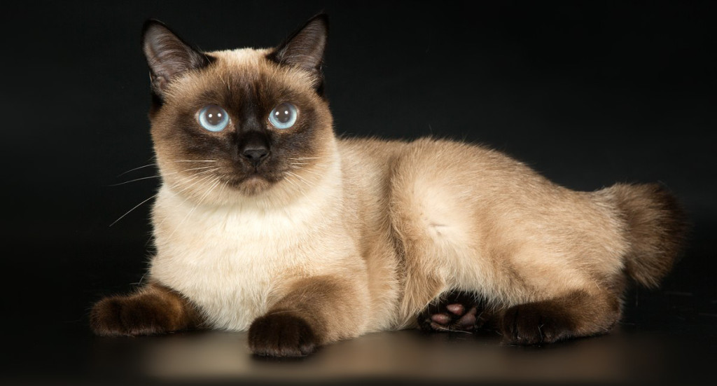 маленькие породы кошек