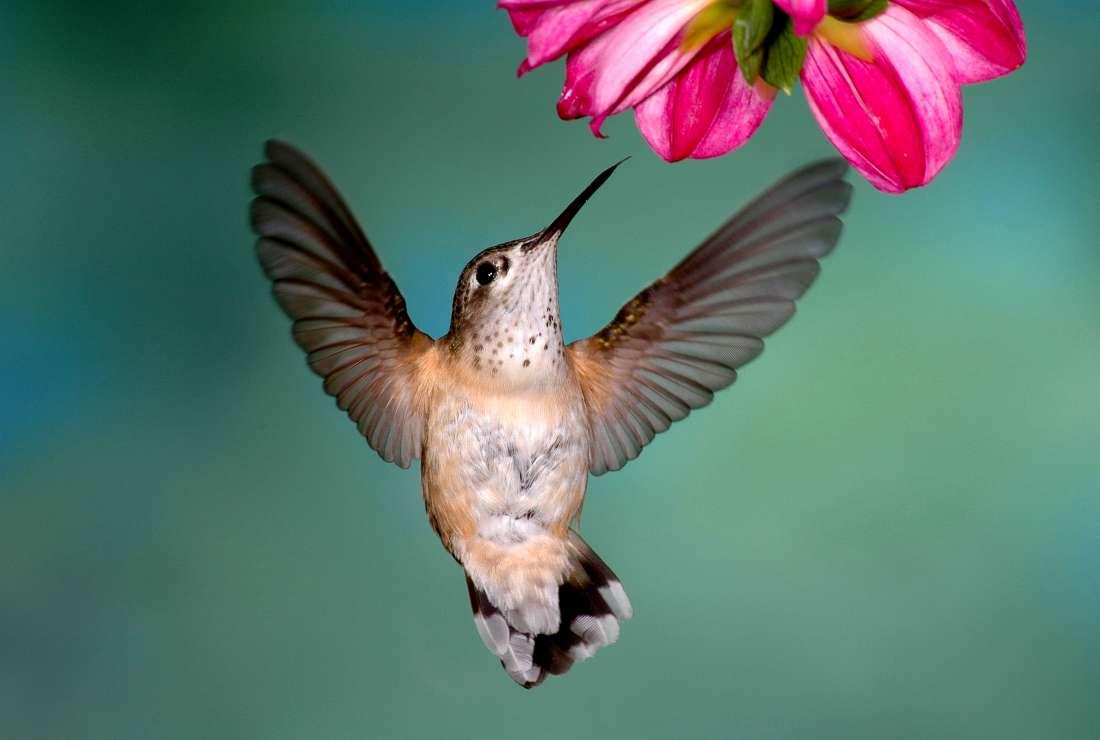 колибри может лизать 10-15 раз в секунду