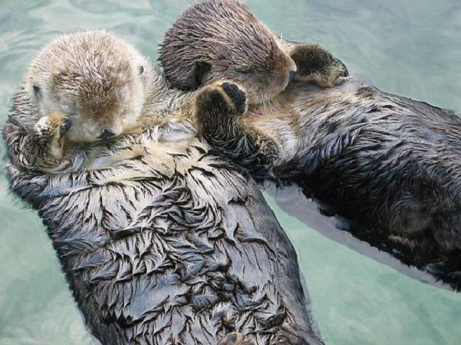 Чтобы не потеряться, морские выдры держатся за лапки, когда спят