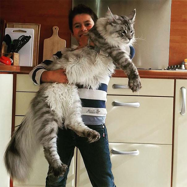 Мейн-кун по имени Стьюи являетсярекордсменомГиннессакак самая длинная кошка