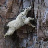 Невероятно крутые горные козлы, которым неведом страх высоты