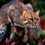 Ржавая кошка - самая уникальная представительница семейства кошачьих