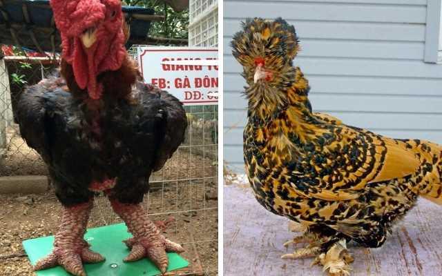 Самых необычные и дорогие породы кур