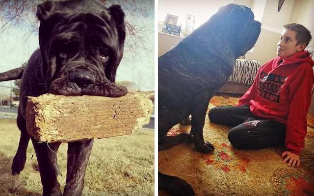 Самый большой 9-месячный щенок в мире