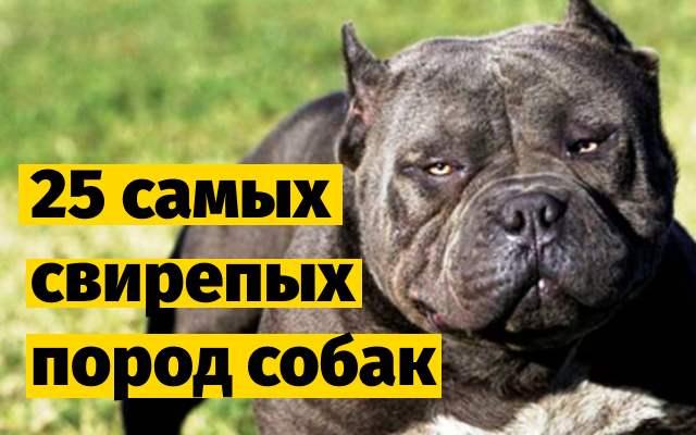 25 самых свирепых пород собак