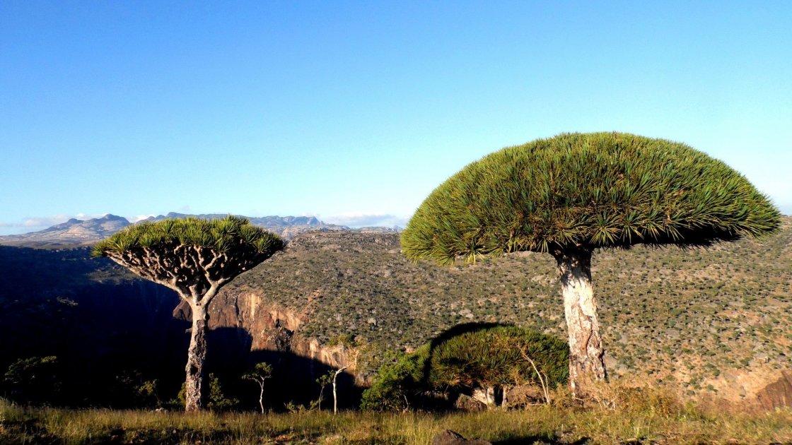 Драконовые деревья на острове Сокотра, Йемен