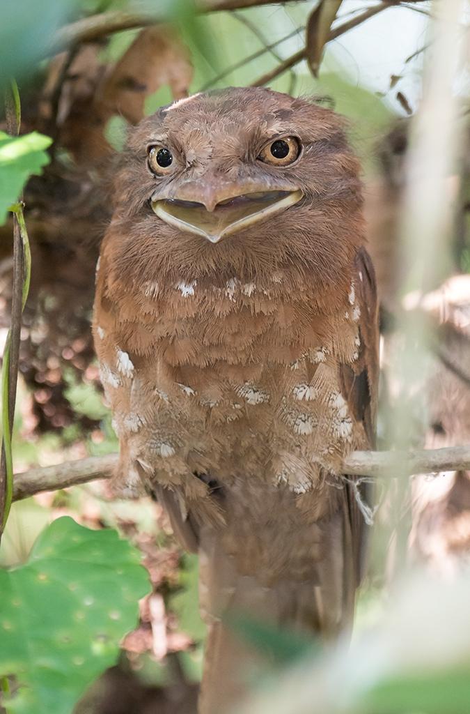 Цейлонский лягушкорот