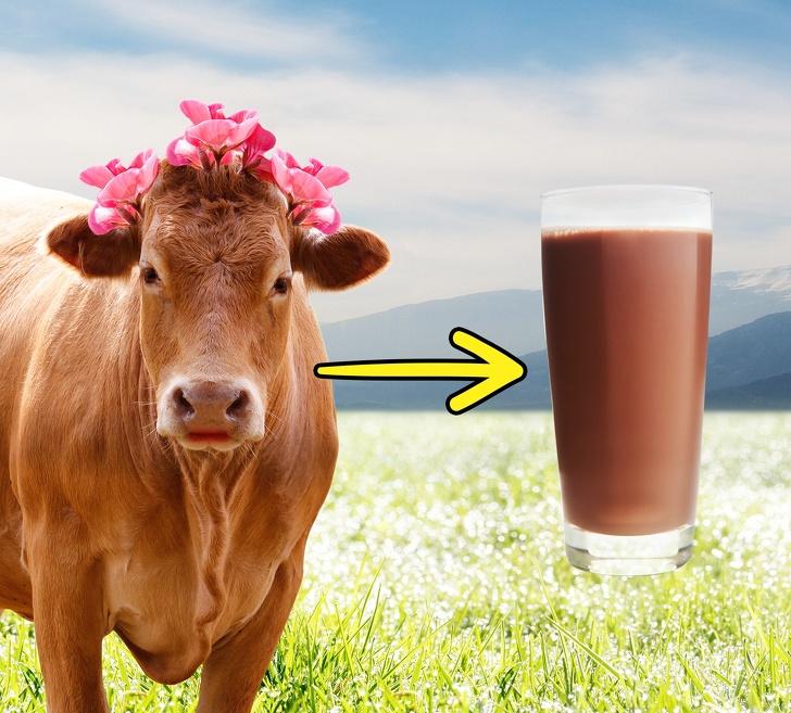 Коричневые коровы дают шоколадное молоко