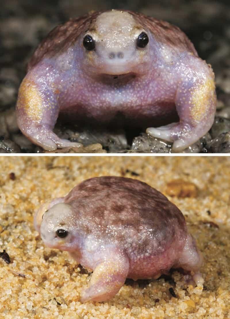 Лягушка-черепаха
