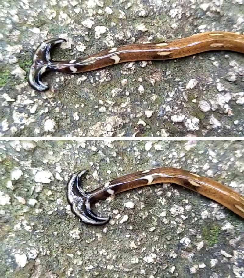 Молотоголовый червь