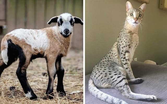 11 уникальных гибридов животных