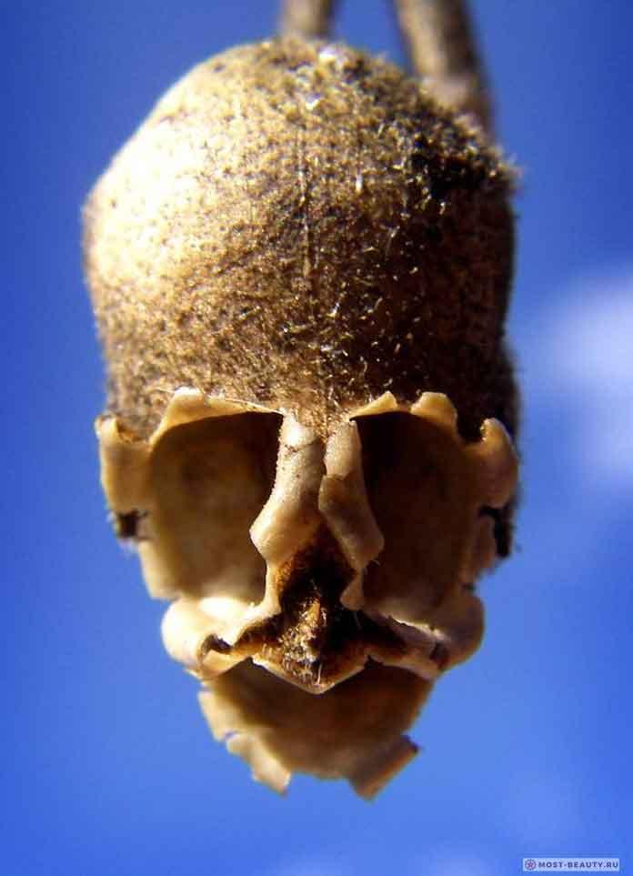 растение похоже на человеческий череп