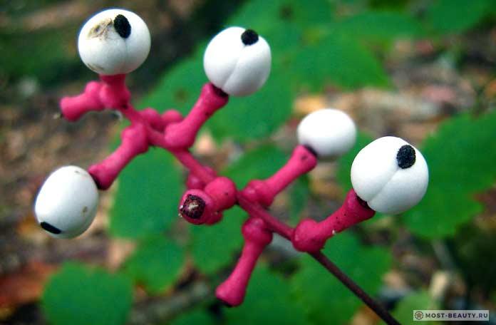 Воронец толстоножковый / Actaea pachypoda