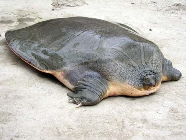 Большая мягкотелая черепаха Кантора