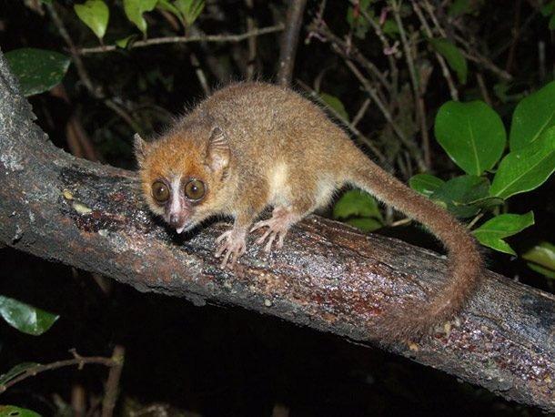 Карликовый мышиный лемур