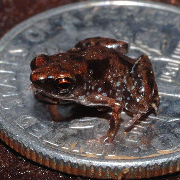 Лягушка Paedophryne Amauensis