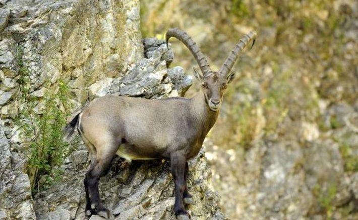 Альпийский горный козёл