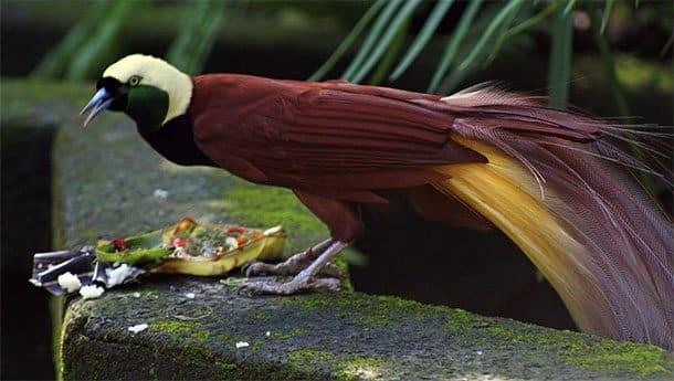 Балийская райская птица