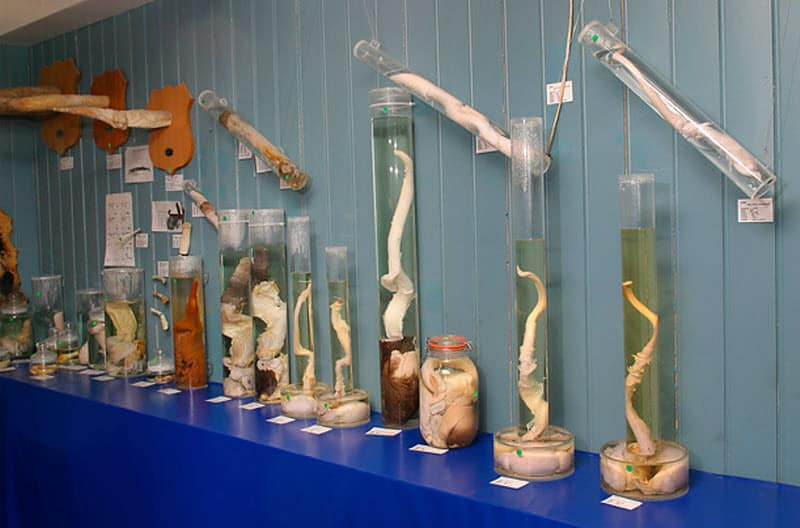 Исландский музей фаллосов