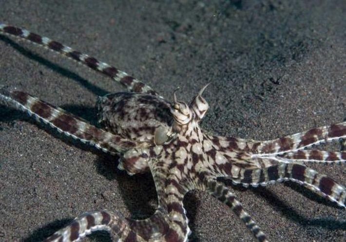 Мимический осьминог