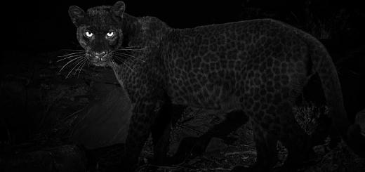 Редчайшего чёрного леопарда сфотографировали