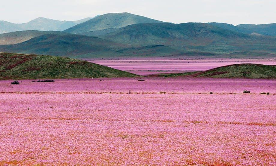 Цветение чилийской пустыни Атакама