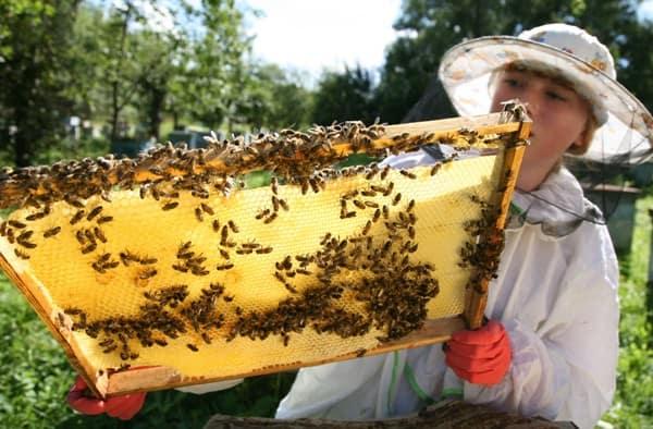 Зачем разводят пчел