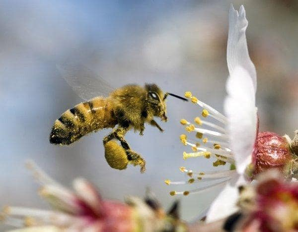 Факты омедоносных пчелах