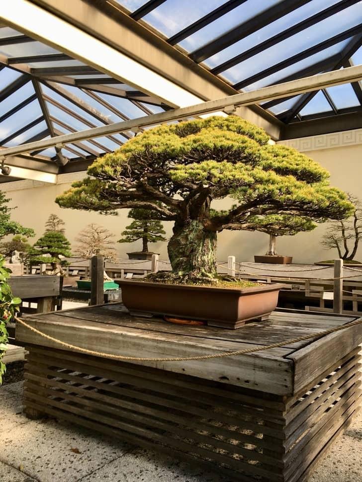 400-летний бонсай