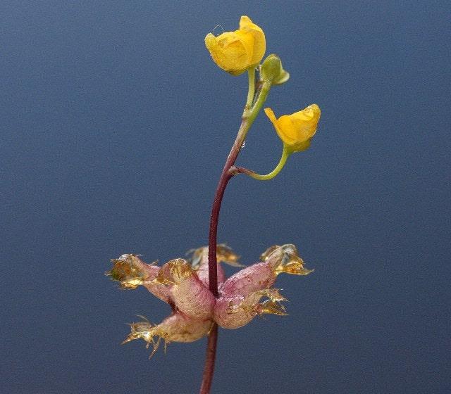 Пузырчатка (Utricularia)