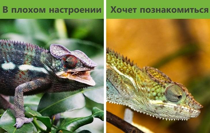 Хамелеон не меняет окрас