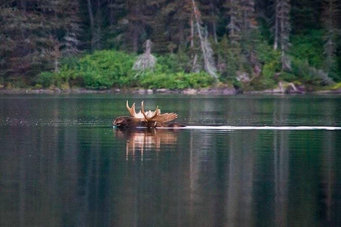 Лоси - отличные пловцы