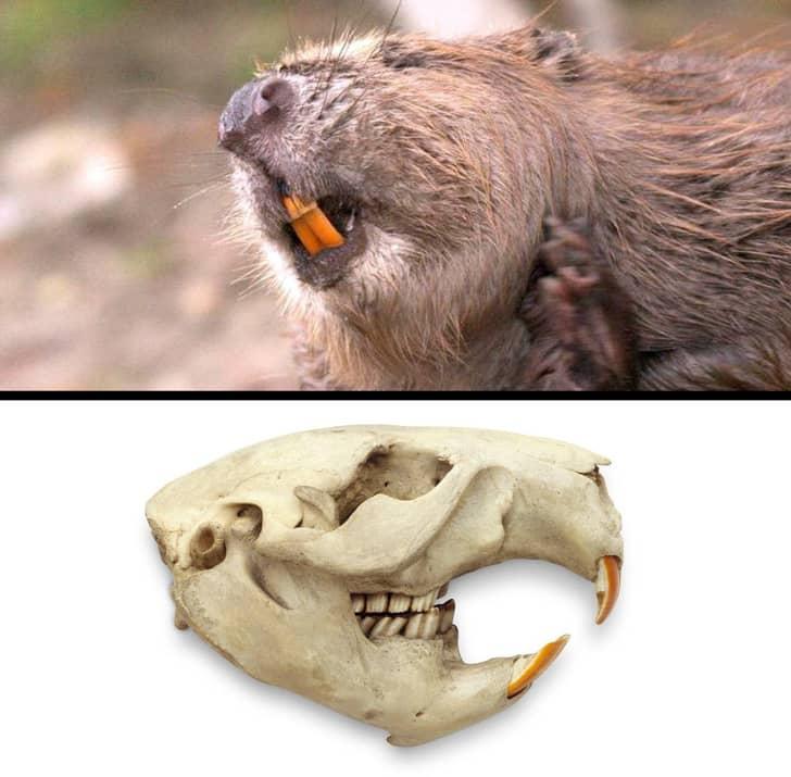 Передние зубы бобров