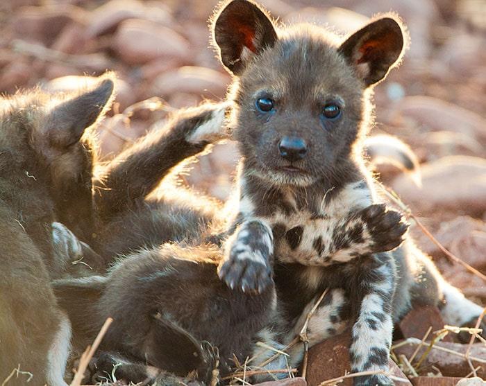 Щенок гиеновидной собаки