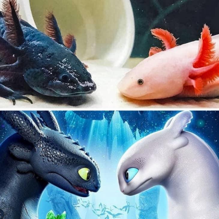 амбистомы напоминают драконов из «Как приручить дракона»